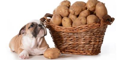 Ziemniaki w diecie psa - czy to dobry pomysł?
