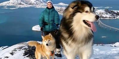 Razas de perros gigantes que no son conscientes de su tamaño vistas en Instagram
