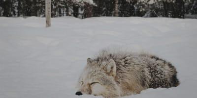 Pies leżący na śniegu
