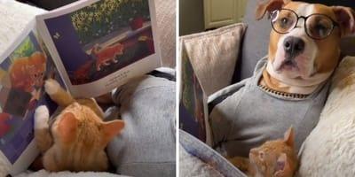 Papá pitbull lee un cuento a su bebé gato: el vídeo más adorable de la semana