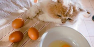 ¿Los gatos pueden comer huevo o es dañino para ellos?