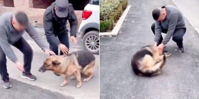 Policyjny owczarek niemiecki spotyka po dwóch latach swojego trenera: jego reakcja jest niesamowita!
