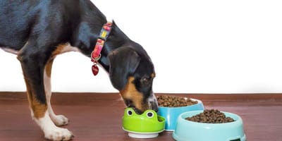 Dog eating dry dog food from bowl