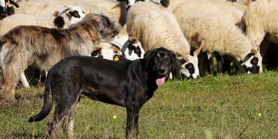 Brucellosi nel cane: una patologia silente ma pericolosa!
