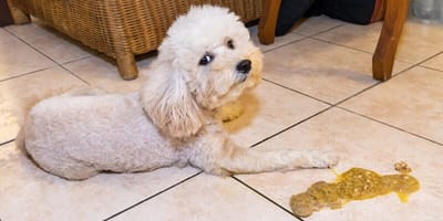 perro poodle vomito amarillo