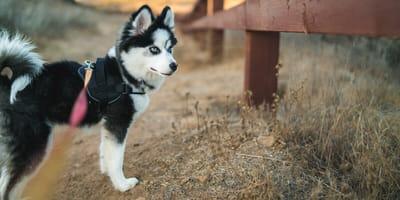 Der Pomsky: Ein Hybridhund aus den USA erobert die Welt