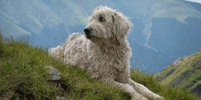 Top 4 rare and unique Romanian dog breeds