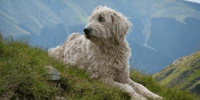 Le 4 razze canine rumene rare e uniche (Foto)