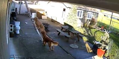 Überwachungskamera filmt Golden Retriever an Leiter: Die werden doch nicht etwa ...?