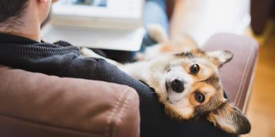 perro corgi tumbado en los brazos de un hombre