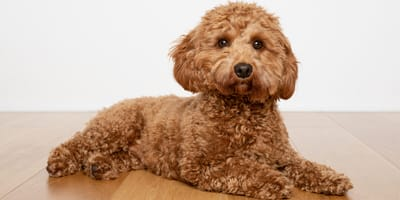 A poodle a low shedding dog breed