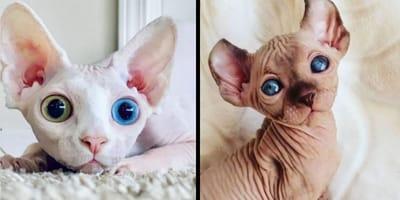 10 irresistibili foto di gatti Sphynx che ti conquisteranno