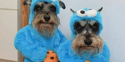 7 reasons why you should never ever get a Schnauzer