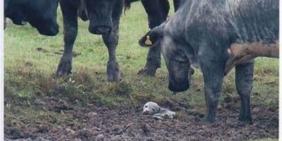 Mężczyzna widzi szczeniaczka uwięzionego w bagnie pośród stada krów. Ale czy to na pewno jest szczenię?