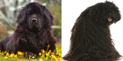 Las 20 razas de perros negro más hermosas que existen