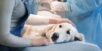 Jak się opiekować psem po operacji lub zabiegu?