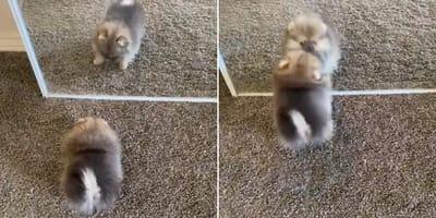 Cachorro Pomerania no puede contener la emoción al descubrirse a sí mismo en el espejo