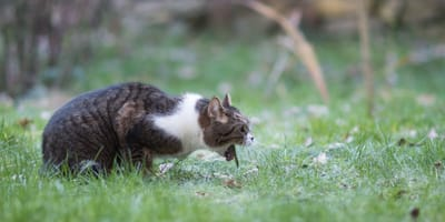 Katze erbricht Würmer: Ursachen und Behandlung