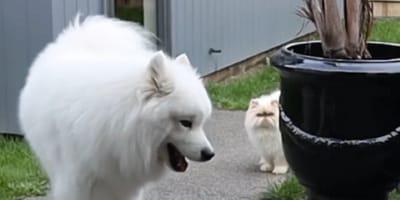perro samoyedo mira de reojo a un gato cerca suya