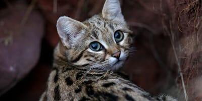 Najmniejszy gatunek kota w Afryce - oto kot czarnołapy