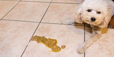 Hund mit Erbrochenem
