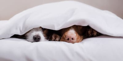 Hundenasen unter Bettdecke