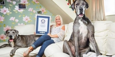 El perro más grande del mundo muere a los 8 años