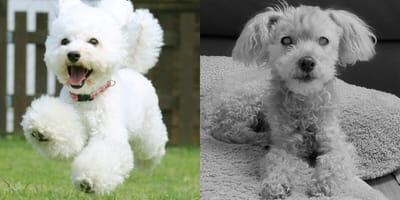 cuántos años vive un perro french poodle
