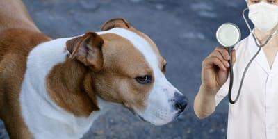 Gefährliche Wurmerkrankung: Filariose beim Hund