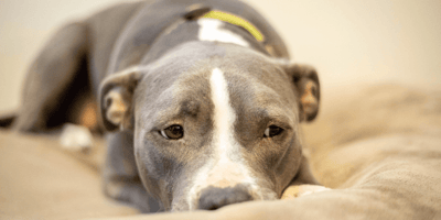 Scared Pittie doesn't want to eat until her vet does the most heartwarming thing