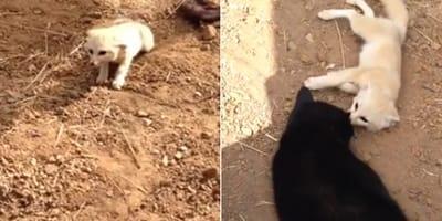 Un zorro se emociona al reencontrarse con su mejor amigo el gato: el vídeo es alucinante