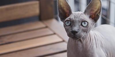 La lista delle razze di gatto senza pelo