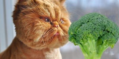Ecco perché i gatti possono mangiare i broccoli