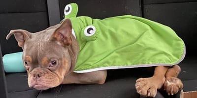 Buldog Jack w stroju żabki.