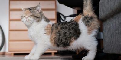 ¿A qué edad entran en celo los gatos y cuándo se pueden embarazar?
