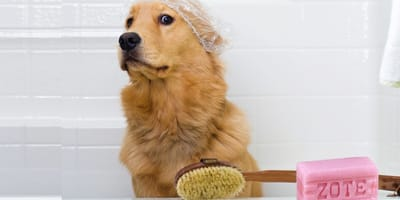 Jabón zote para bañar perros: ¿es adecuado o puede hacerles daño?