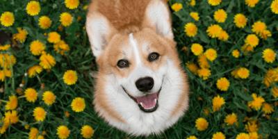 Corgi dog hugs Labrador