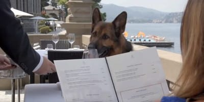This German Shepherd is worth £300m, but it may harm his health!