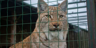 Kitty sneaks into Zoo's lynx enclosure – the big cat's reaction SURPRISES everyone!