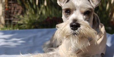 Cuántos años vive un perro schnauzer: esta es su esperanza de vida