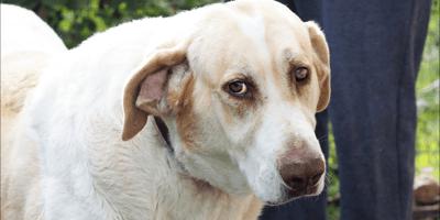 perra mastin blanca triste