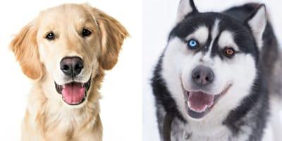 labrador y husky