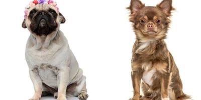 Chug: características y curiosidades de la peculiar mezcla de Chihuahua y Pug