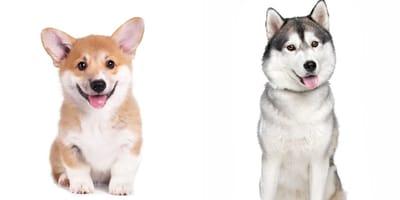 Horgi: características de la mezcla de Husky y Corgi galés, una de las razas más raras del mundo