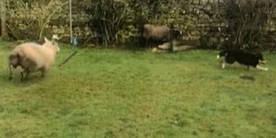 Sheep chasing dog