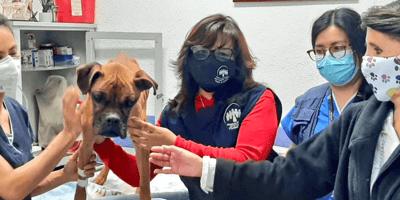 Perra boxer rodeada de mujeres en el veterinario