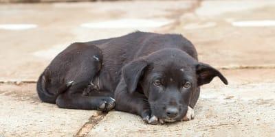 perro negro triste en el suelo
