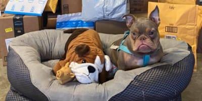 A este bulldog discapacitado le hicieron ghosting: ahora busca un nuevo hogar