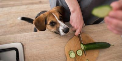 perro mirando pepino cortado