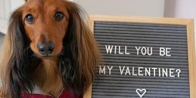 cane-orecchie-lunghe-valentine